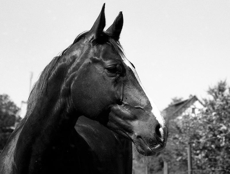 portrait d'un cheval en noir et blanc argentique kodak tmax